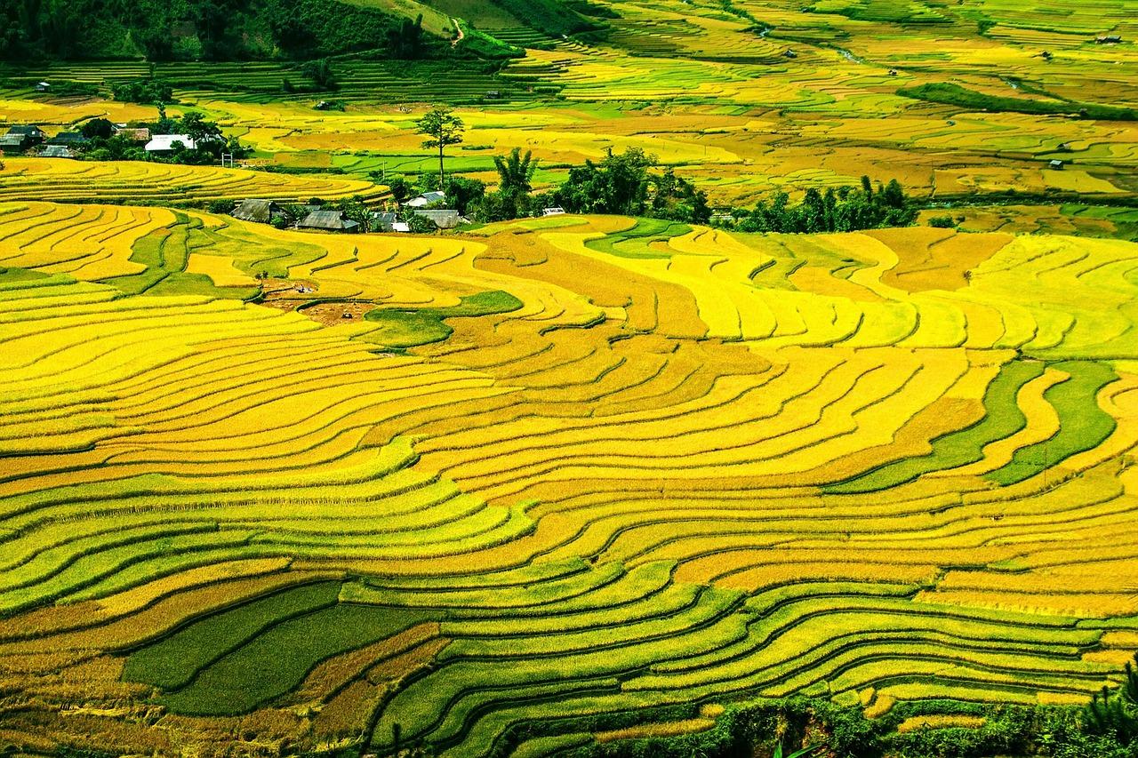 Rizières - Vietnam
